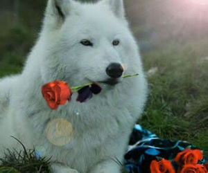 wolf, rose, and white image