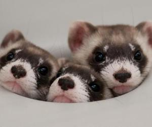 ferret, cute, and animal image