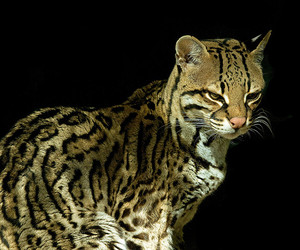 1000, 10000, and ocelot image