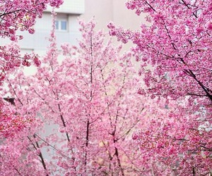 pink, flowers, and nature image