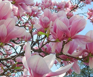 flowers, magnolia, and pink image