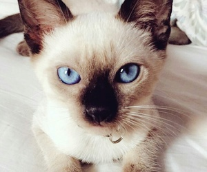 blue eyes, cat, and siamese image