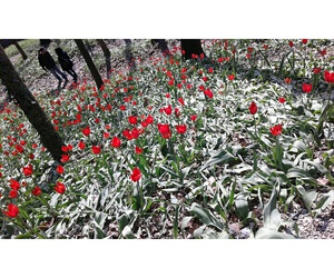 flowers, red, and tulipani image