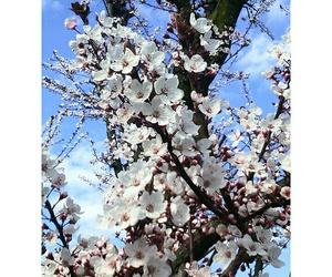 flowers and fiori di ciliegio image