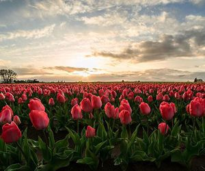 flowers, oregon, and tulips image