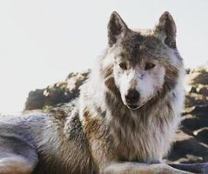wolf, animal, and book image