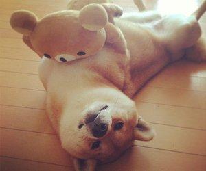 dog and shiba image