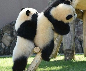 animals, beautiful, and pandas image