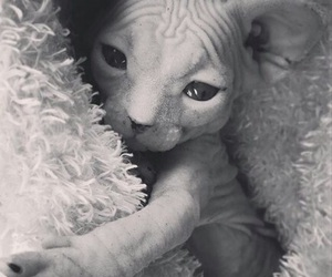 cat, cutie, and sphynx image