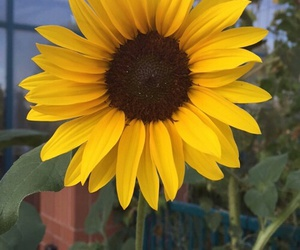 yellow, flower, and sunflower image