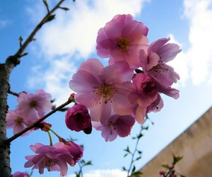 cherryblossom, nature, and colors image