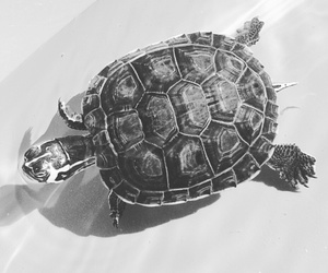 animals, black, and turtle image
