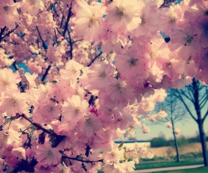 cherryblossom, lovely, and nature image