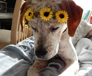 crown, dog, and flower crown image