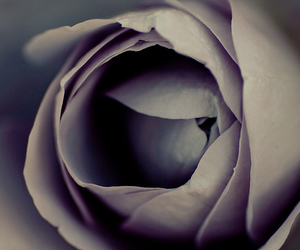 Carl Zeiss, macro, and rose image