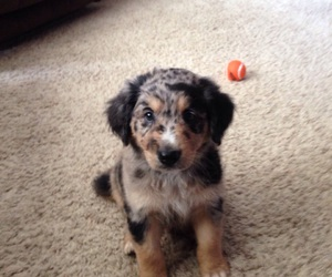 lab, australian shepard, and puppy image