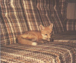 couch, vintage, and fox image