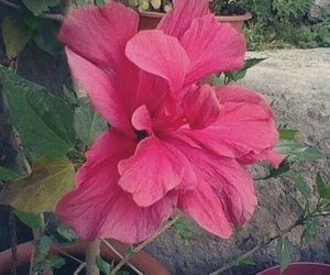 flower, garden, and pink image