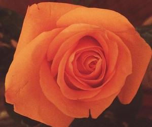 orange and rose image