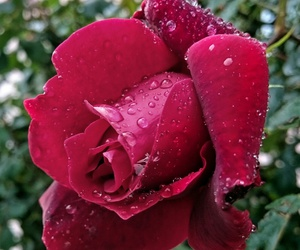 beautiful, raindrops, and roses image