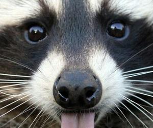 animal, raccoon, and tongue image