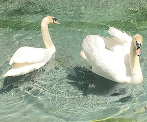 pale, Swan, and water image