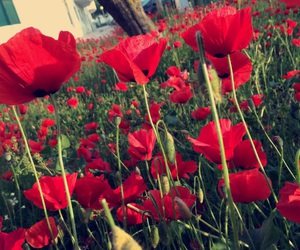 beauty, nature, and poppy image