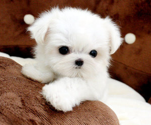 maltese and puppy image