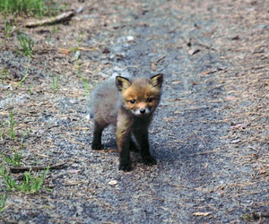 fox, small, and cute image