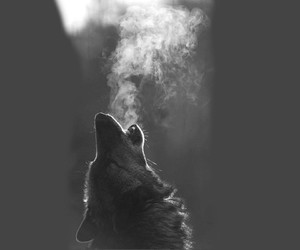 black and white, original, and wolf image