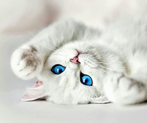 animal, cats, and blue eyes image