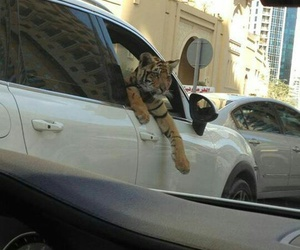 tiger, car, and animal image