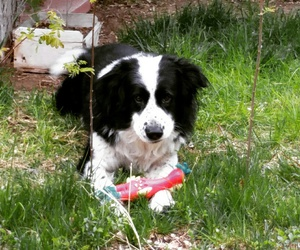 border collie, nature, and puppy image