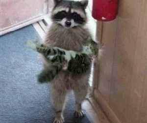 cat, funny, and raccoon image