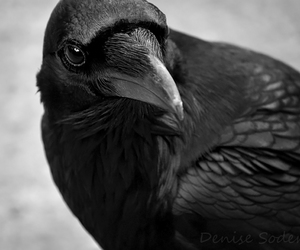 bird, raven, and animal image
