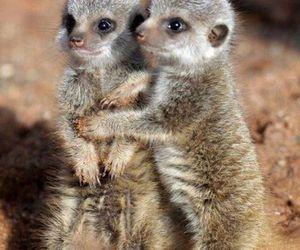 animal and meerkat image