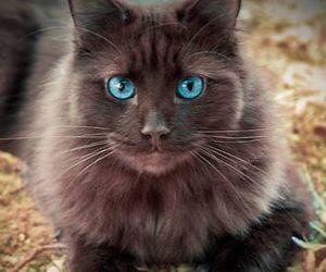 beautiful, blueeyes, and cat image