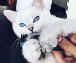 cat, blue, and blue eyes image