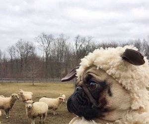 pug, dog, and sheep image