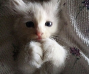 cats, fluffy, and furry image