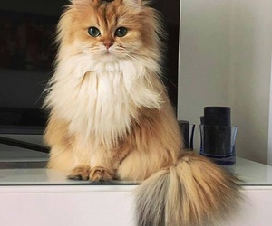 cat, fluff, and fluffy image