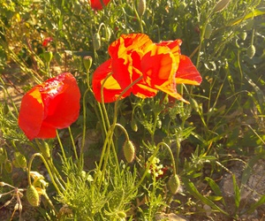 beautiful, coquelicot, and flower image