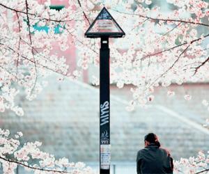 sakura, japan, and flowers image