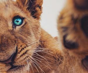 animal, lion, and eyes image