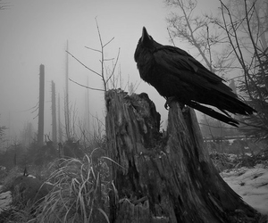 black and crow image