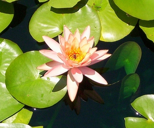 lily, pink, and water lily image