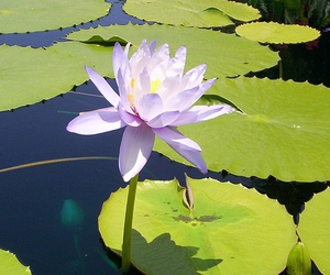 flower, water lily, and Jamie Light image