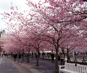 cherry blossom, city, and flower image