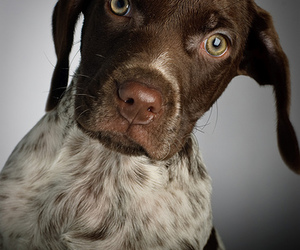 dog, german short haired pointer, and puppies image
