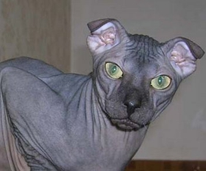 cat, green eyes, and hairless image